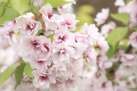 Cherry blossom, very shallow depth of field