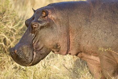 maasai mara: The huge head of a hippo, Maasai Mara National Reserve, Kenya, East Africa
