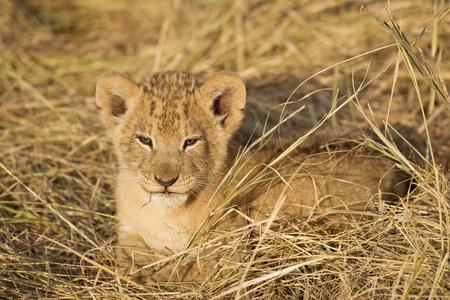 Lion cub, Maasai Mara National Reserve, Kenya, East Africa photo