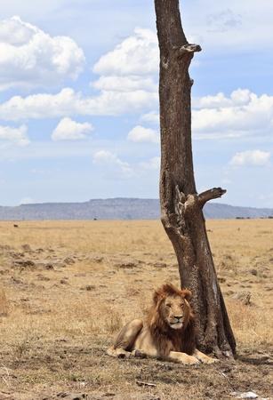 maasai mara: Leone maschio riposo nella piccola ombra di un albero, Maasai Mara National Reserve, Kenya, East Africa