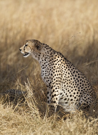 maasai mara: Cheetah sitting on yellow grass, Maasai Mara National Reserve, Kenya, East Africa
