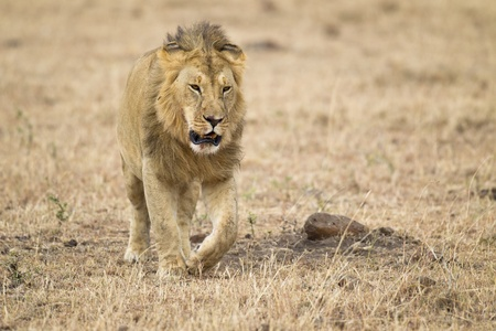 Male lion, Maasai Mara National Reserve, Kenya, Africa Stock Photo - 10765440