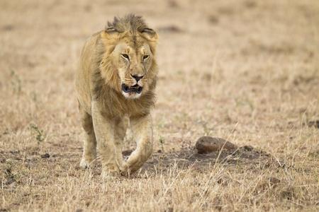 maasai mara: Maschio leone, Maasai Mara National Reserve, Kenya, Africa
