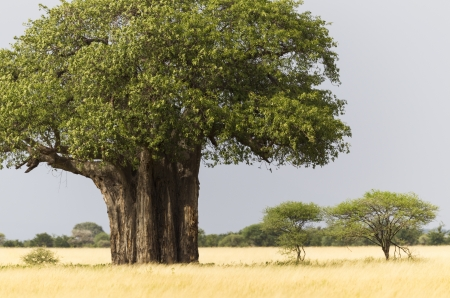 adansonia: African Baobab tree with yellow grass, Tarangire National Park, Tanzania, East Africa