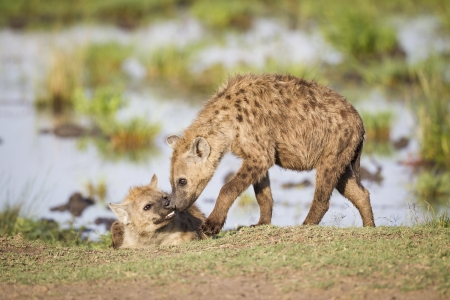 hienas: Dos hienas salud�ndose