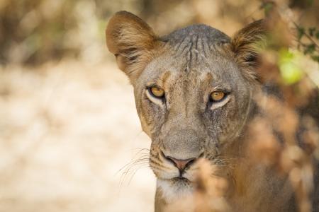 Lion, Samburu National Reserve, Northern Kenya, East Africa Stock Photo