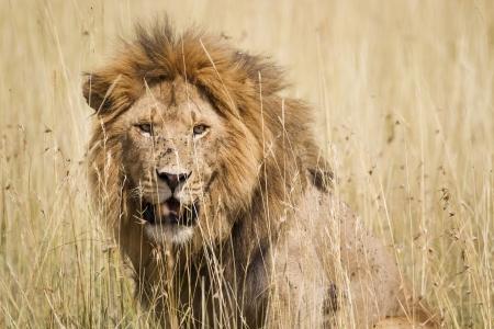 Impressive male lion in high grass, Serengeti National Park, Tanzania, Southeast Africa