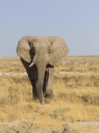 African elephant in the vast plains of Etosha National Park, Namibia, Southern Africa
