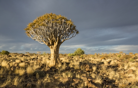 Quiver tree or Aloe dichotoma in bright evening sunlight, Namibia, Southern Africa Stock Photo