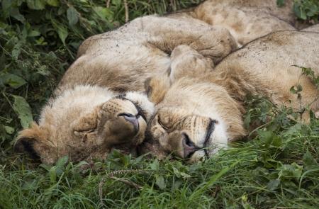 Two sleeping lions, Lake Nakuru National Park, Kenya, Southeast Africa Stock Photo