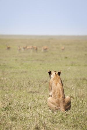 Too far away, lioness in the open savanna, shallow depth of field, Masai Mara, Kenya, Southeast Africa Stock Photo