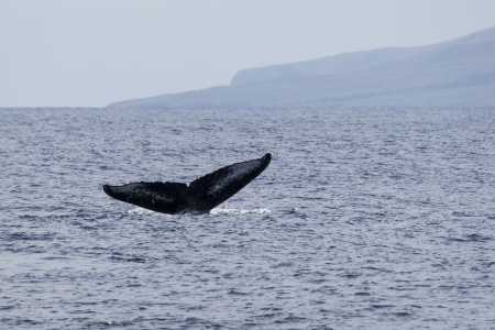 The tail of a humpback whale, Maui, North Pacific Ocean photo