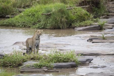 maasai mara: Leopard al fiume, Maasai Mara National Reserve, Kenya, Central Africa orientale Archivio Fotografico