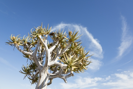 Quiver tree and cloud, Namibia, Karas, Southern Africa Stock Photo