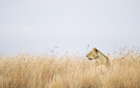 maasai mara: Leonessa in erba alta, Riserva Nazionale di Masai Mara, Kenya, Africa orientale Archivio Fotografico