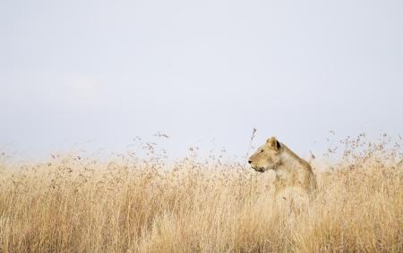 Lioness in high grass, Maasai Mara National Reserve, Kenya, East Africa Stock Photo