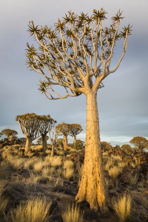 Quiver tree Aloe dichotoma, in warm evening light, Namibia, Southern Africa
