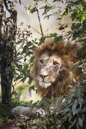 felid: Male lion, Maasai Mara National Reserve, Kenya, East Africa Stock Photo