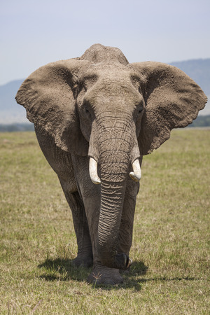 maasai mara: African Elephant on the plains in the Maasai Mara National Reserve, Kenya, East Africa Stock Photo