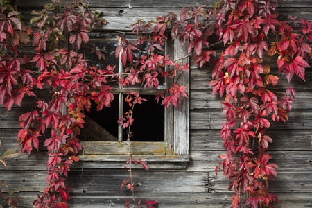 Fall foliage in front of an old barn, Quebec, Canada
