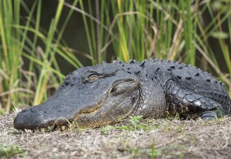 A big alligator close-up, Everglades National Park, Florida, USA