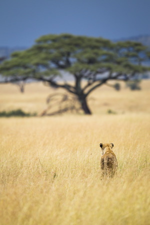 A lioness in the Serengeti National Park, Tanzania, Africa Stock Photo