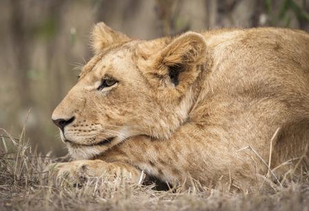 Close-up of a lion cub, Masai Mara National Reserver, Kenya, East Africa