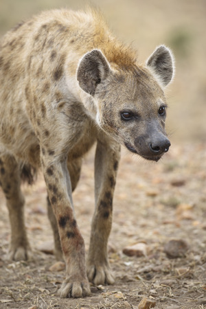 A curious hyena, Masai Mara National Reserve, Republic of Kenya, East Africa