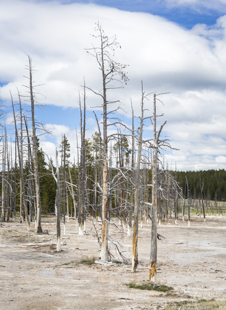 Dead trees in the Yellowstone National Park, Wyoming, USA
