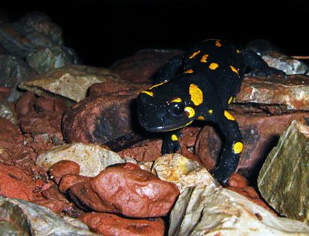 freckle: Salamandra salamandra