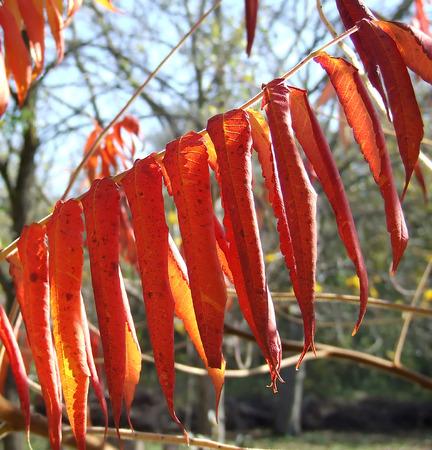 dode bladeren: rode langwerpige dode bladeren op de tak Stockfoto