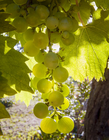 backlite: grapes in the sun backlite