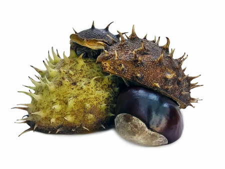 autumn faall conker horse chestnut and prickly shell isolated on white background