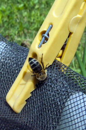 Bee standing on the clotespin and mesh and drinking water Stock Photo