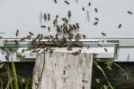 A lot off bees entering the hive Stock Photo
