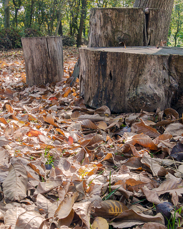 The colors of the autumn, dry leaves fallen on the ground around stump