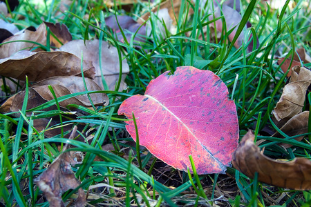 Dry red leaf on the fresh green grass ground