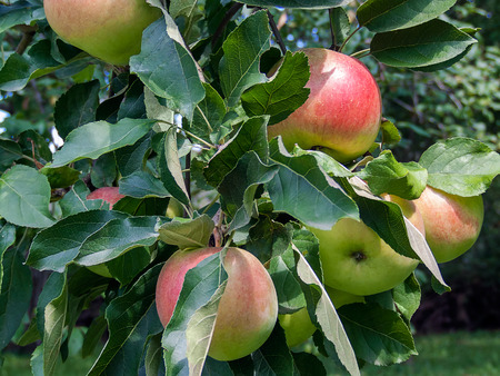 apples hanging from a tree branch in an apple orchard Stock Photo