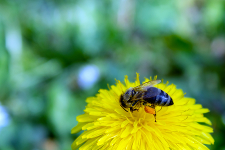 Honey bee covered with yellow pollen, drink nectar from yellow flowers and pollinating them. Hairs on Bee are covered in yellow pollen as are its legs.