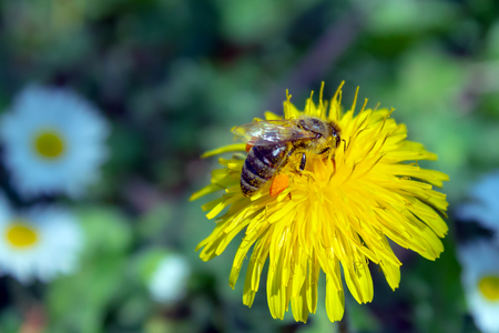 Honey bee covered with yellow pollen, drink nectar from yellow flowers and pollinating them. Hairs on Bee are covered in yellow pollen as are it's legs. 版權商用圖片