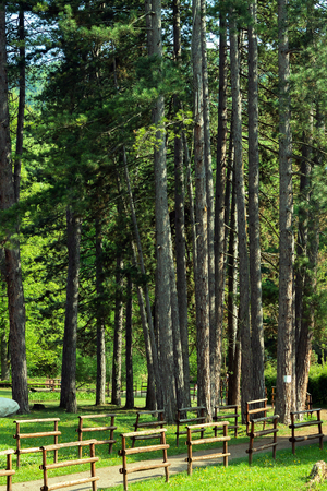 high pine trees along the footpath in the park on the Ozren Mountain, Serbia