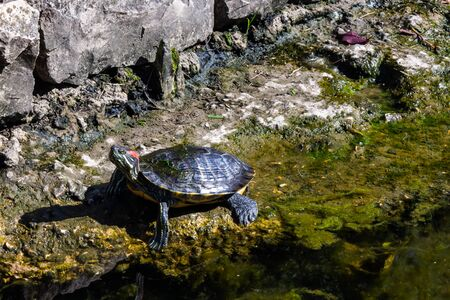 red-eared slider turtle on the river bank