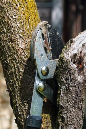 secateurs for cutting branches hooked to a plum tree Banque d'images