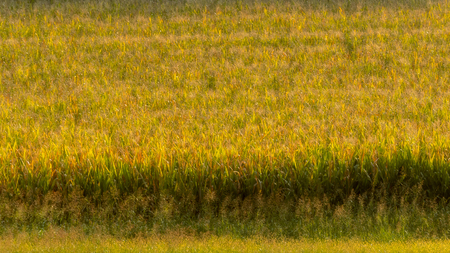 Ethereal Grass in green and yellow field fills the frame