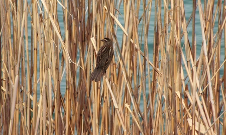 md: Sparrow hidden in the tall growth, on Lake Montebello Baltimore,MD. Stock Photo