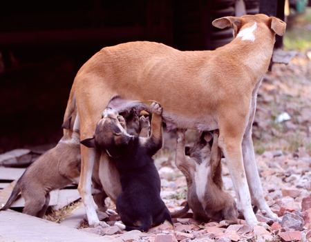 feed the poor: Stray female-dog feeding milk to its small puppies in an open area.
