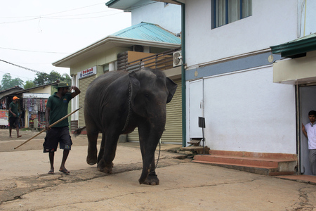 Big brown elephants being driven on city streets