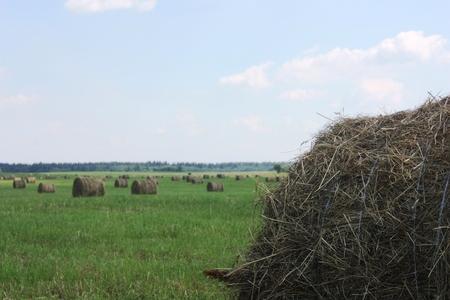 Hayfield. Round straw haystacks on a green field