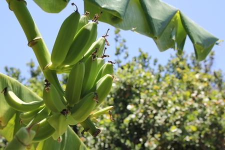 Green Unripe banana on banana tree