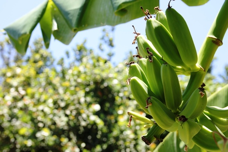 Green Unripe banana on banana tree
